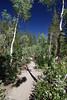 Aspen Trees, Trail, Good to the point it's exotic polarization; Big Pine Lakes North Fork Trail just below the Ranger Station, September 2007